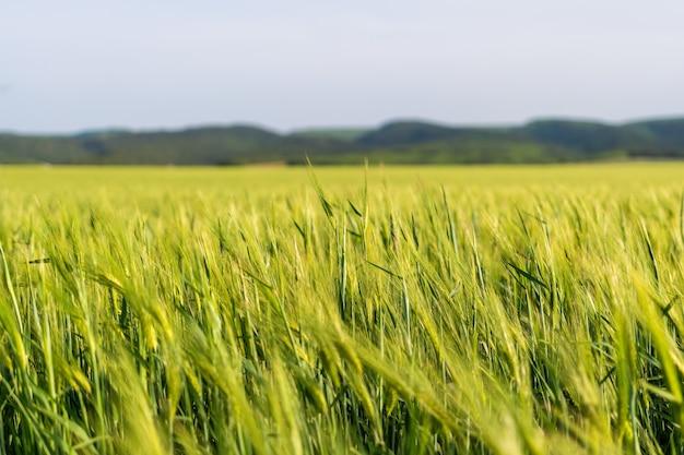 Groene tarweveld in platteland, close-up. gebied van tarwe waait in de wind op zonnige lentedag. oren van gerstoogst in aard. agronomie, industrie en voedselproductie.