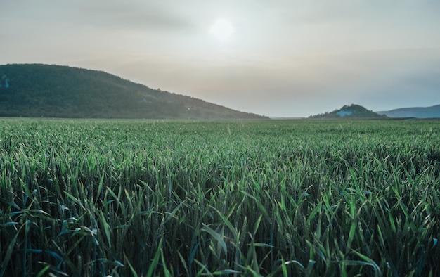 Groene tarweveld in platteland, close-up. jonge en groene aartjes. oren van gerstoogst in aard. agronomie, industrie en voedselproductie.