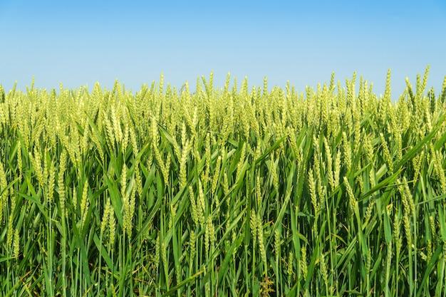 Groene tarweveld tijdens het groeiseizoen en blauwe lucht. zomer achtergrond.