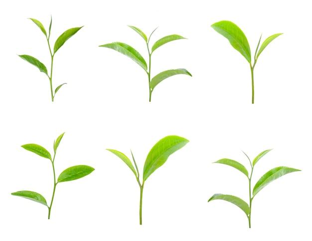 Groene thee blad collectie geïsoleerd op een witte achtergrond