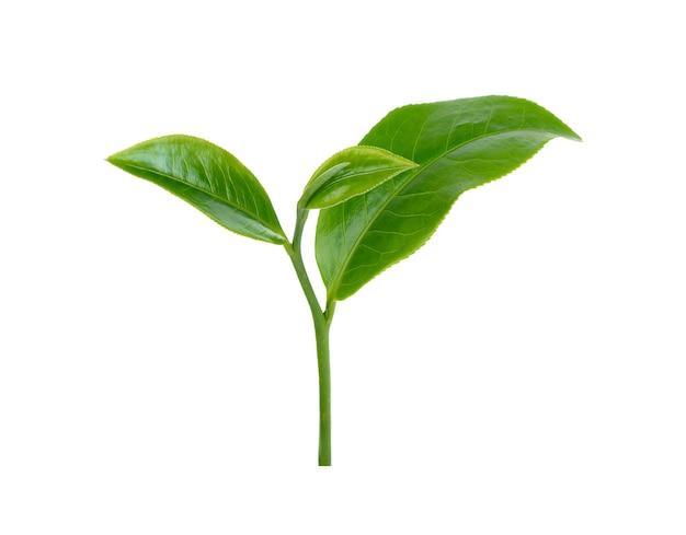 Groene thee blad geïsoleerd op een witte achtergrond