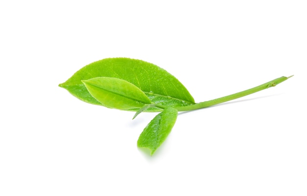 Groene thee blad met druppels water geïsoleerd op wit.