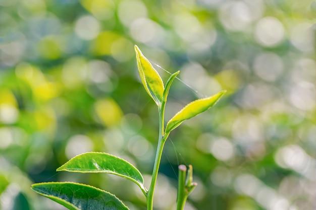 Groene thee jonge blad