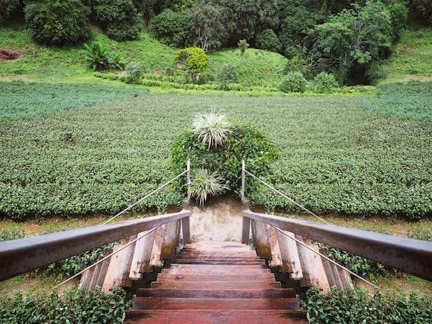 Groene thee plantage