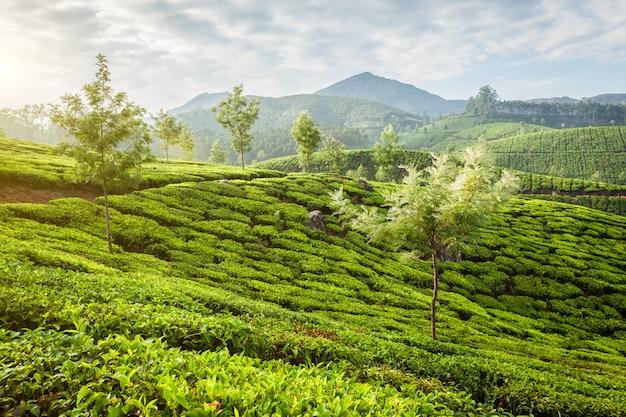 Groene theeaanplantingen in munnar op zonsopgang, kerala, india