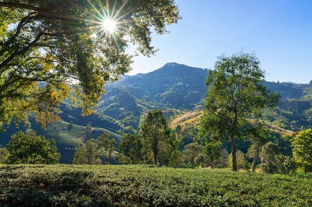 Groene theeaanplantingen op de heuveltop van chiang rai province, de aard van de het landschapsmening van thailand