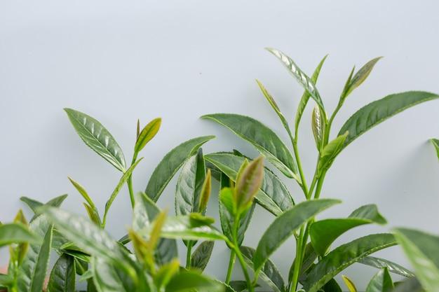 Groene theeblaadjeachtergrond in theeaanplantingen.