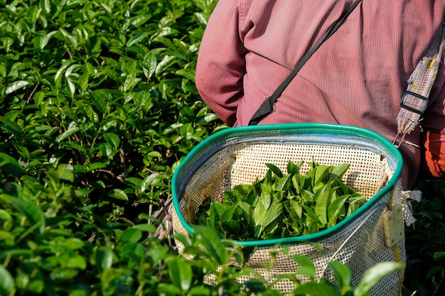Groene theebladbladeren in mand terwijl het oogsten van famers