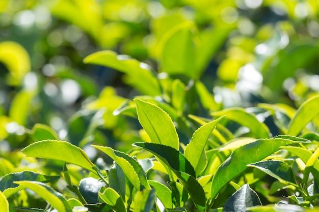 Groene theebladen in een theeaanplanting