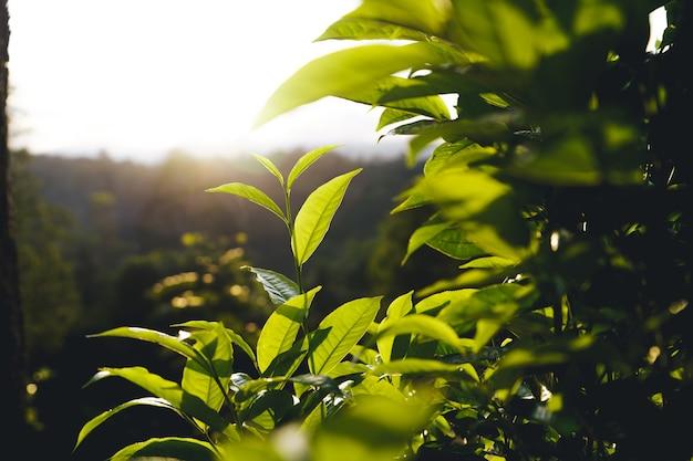 Groene theeboom assam-theeblaadjes op de berg in de avond