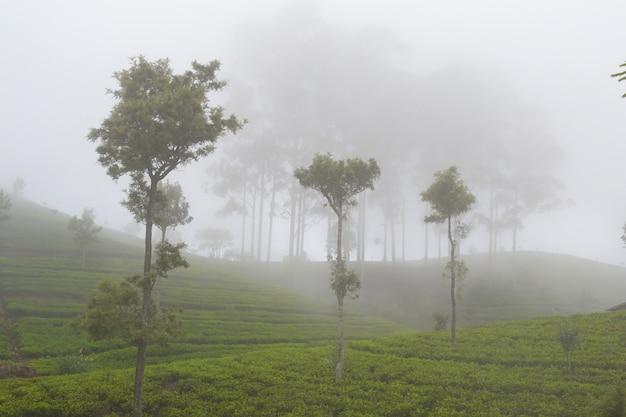 Groene theegewassen en mist in haputale, sri lanka