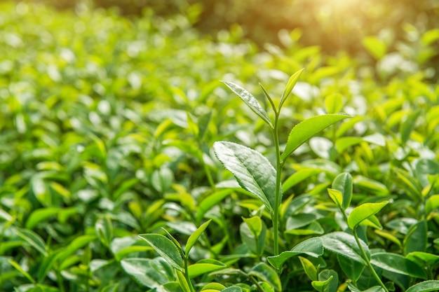 Groene theeknop en bladeren. groene theeplantages en zonnig in de ochtend.
