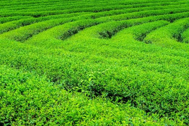 Groene theeknop en bladeren. groene theeplantages in de ochtend. natuur achtergrond.