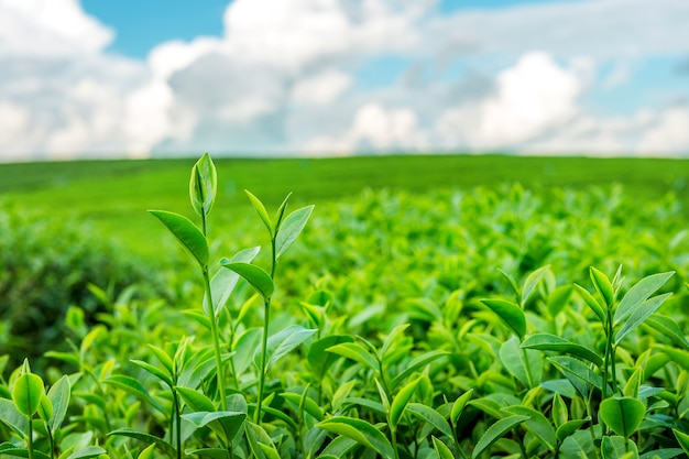 Groene theeknop en bladeren. groene theeplantages in de ochtend.