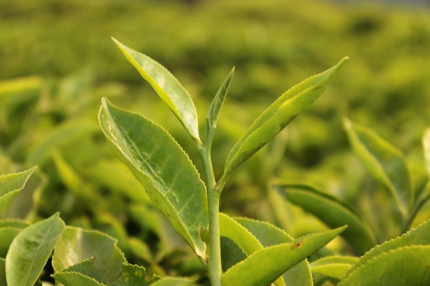 Groene theeknop en bladeren op groene theeplantages