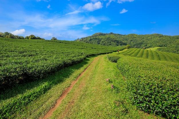 Groene theeplantage en kleine mensen met mountain