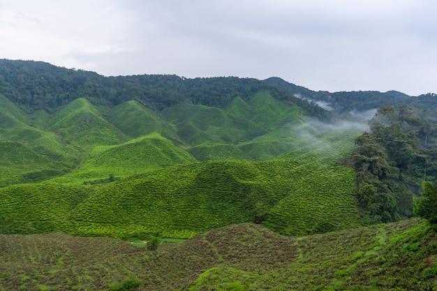 Groene theeplantages in de heuvels in de hooglanden. de beste thee groeit in vochtige, mistige klimaten hoog in de bergen.
