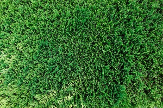 Groene thuja branch bovenaanzicht textuur als achtergrond