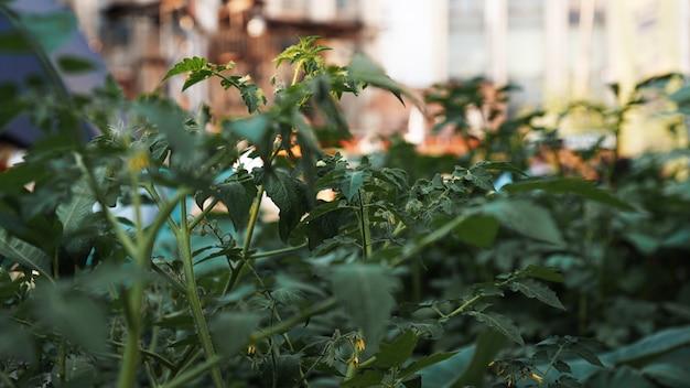 Groene tomaten in de moestuin stedelijke moestuin op een openbare plaats