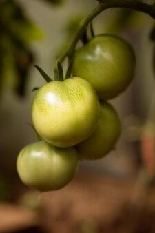 Groene tomaten op tak van plant in tuin verticaal schot