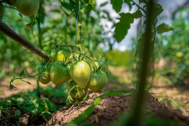 Groene tomaten rijpen in een kas op een biologische boerderij. gezonde groenten vol vitamines