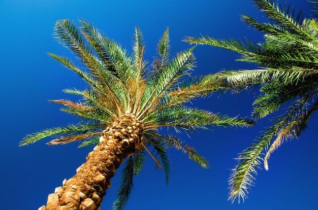 Groene tropische palmen over duidelijke blauwe hemel. zomer en reizen concept. vakantie. palmbladen en takken textuur