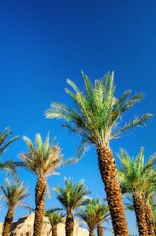Groene tropische palmen over duidelijke blauwe hemel. zomer en reizen concept. vakantie. palmbladen en takkentextuur met exemplaarruimte