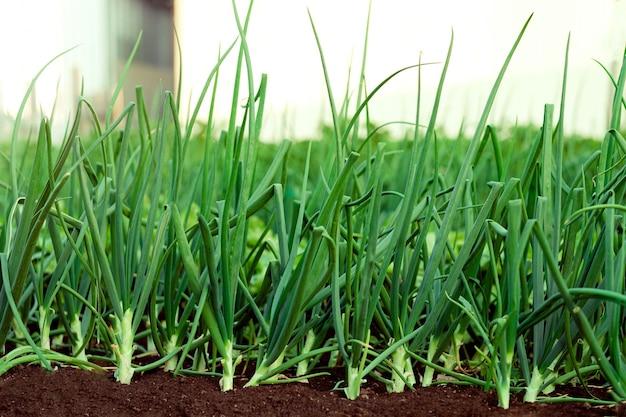 Groene uien die in de tuin groeien. lente groenten. een bedje van groene uien close-up