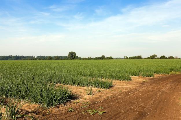 Groene uienspruiten op het landbouwgebied