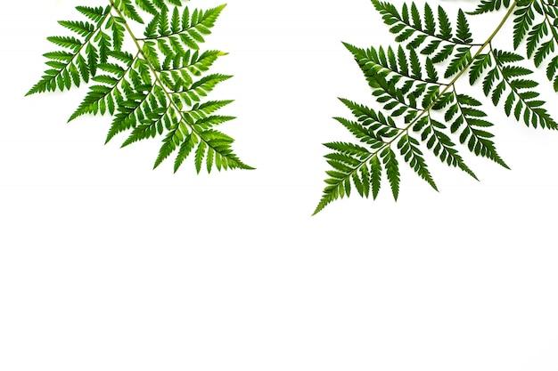 Groene varenbladeren die op witte achtergrond worden geïsoleerd