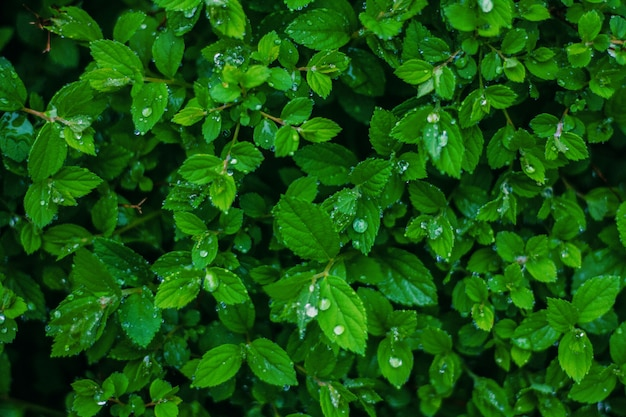 Groene verse bladeren met waterdruppels achtergrond