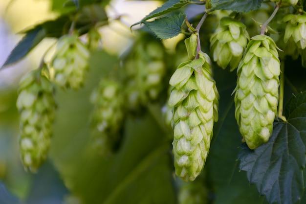 Groene verse hopbellen op struik. bloemen voor het maken van bier en broodclose-up, landbouwachtergrond. lege ruimte voor kopie ruimte plaats voor tekst.