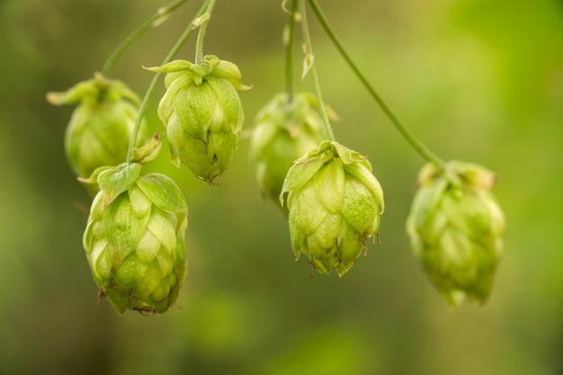 Groene verse hopbellen voor het maken van bier en broodclose-up, landbouwachtergrond.
