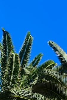 Groene verse palmbladeren op een heldere blauwe hemelachtergrond met kopieerruimte
