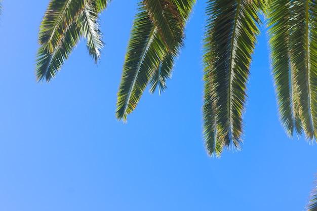 Groene verse palmbladeren op heldere blauwe hemelachtergrond