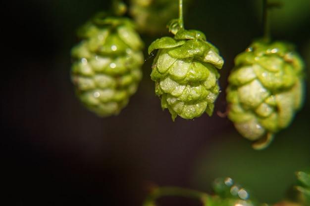 Groene verse rijpe biologische hopbellen voor het maken van bier en brood, close-up