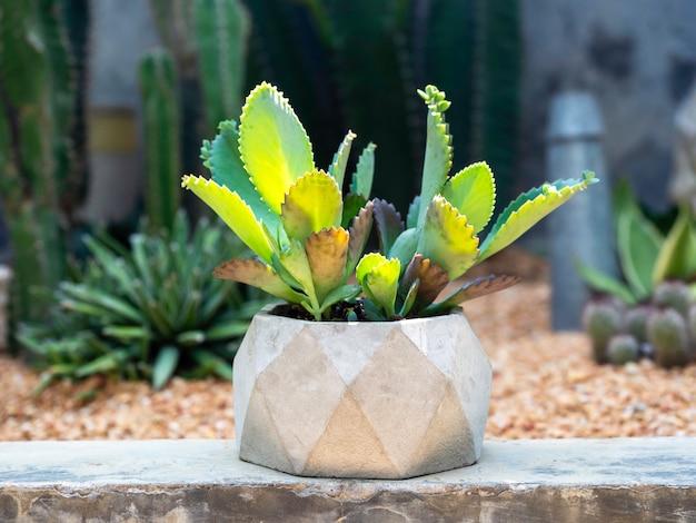 Groene vetplant, kalanchoë-hybride in geometrische betonnen pot op tropische cactus buitentuin.