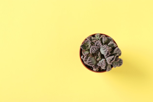 Groene vetplant titanopsis op geel