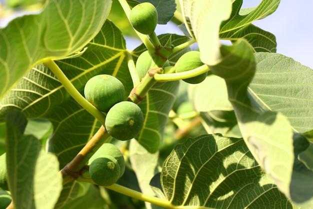 Groene vijgen rijpen op een boomtak tussen de bladeren.