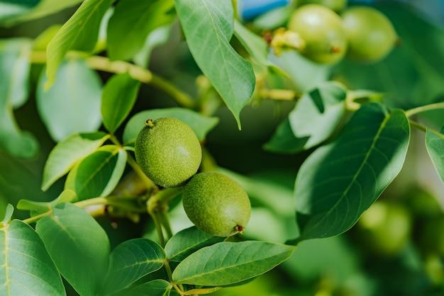 Groene vrucht van de walnoot op de tak
