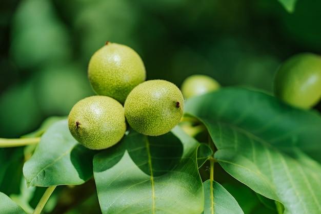 Groene walnoten groeien op een boom, close-up
