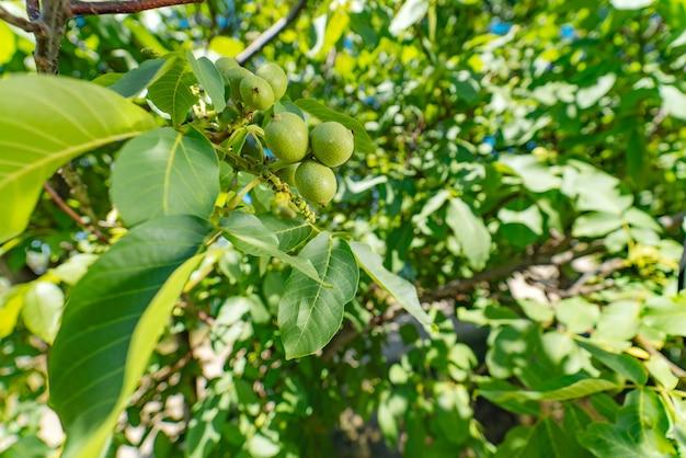 Groene walnoten jonge vruchten rijpen aan de boom met bladeren