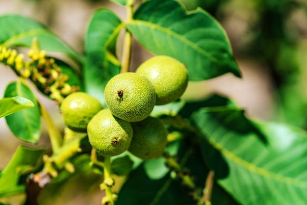 Groene walnoten unripen op tak van de boom met groene bladeren.