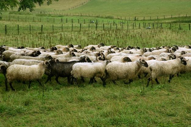 Groene weide met kudde schapen en geiten