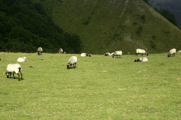 Groene weide met pyrenese schapen