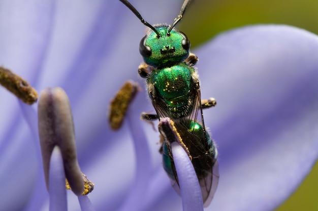 Groene wesp voeden met een agapanthus bloem