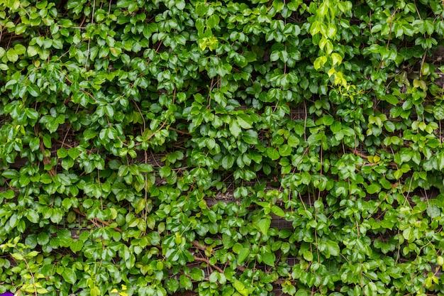 Groene wijnstokken groeien op houten muur,