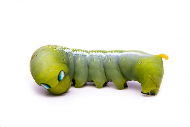 Groene worm