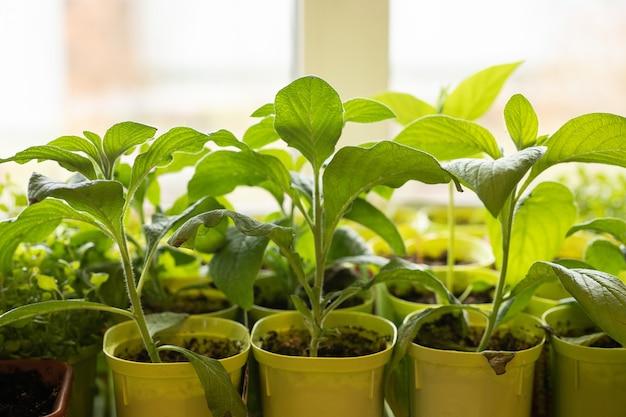 Groene zaailingen in potten op het raam