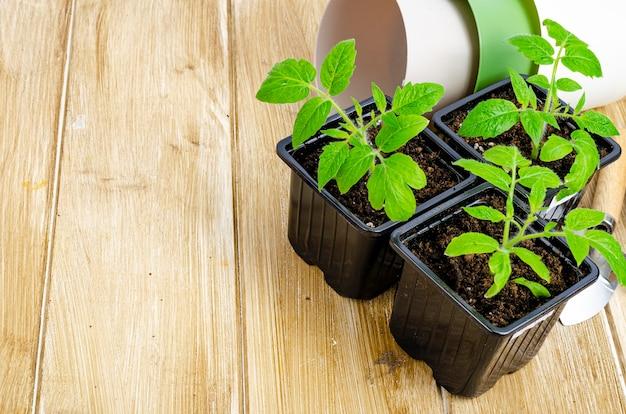 Groene zaailingen van tomaten die in de grond groeien in zaailingcontainers